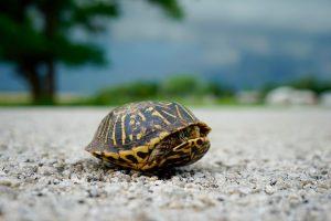 Turtle Taking Shelter